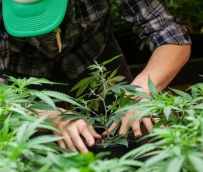What will be the future of the cannabis industry